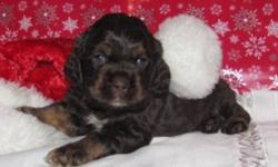 American CockerSpaniel puppies for sale. The puppies are $450 for all colors except the chocolate and they are $500.  The puppies will be vet checked and have 2 dewormings before they go.  The puppies go on non-breeding contracts to pet homes only.  I can