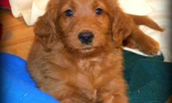 7 Beautiful First Generation Apricot Golden Doodle Pups available - 1 boy (First Picture) and 6 Girls.   Puppies will mature between 50 - 55 lbs full grown.   F1's result in beautiful wavy, low to no shedding, allergy friendly coats.    Pups are Vet