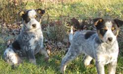Lovely looking aussie x blue heeler puppies now ready for their new home. Great marking and temperaments they have spent a lot of time with children, cats and other animals. Boys and girls available, puppies come with a vet check dewormed and 1st shots.