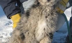 We have 2 male, black and silver merle Aussiedoodle puppies available, now 18 weeks old. They have had all puppy shots already, trained to potty outside via a doggy door. Non-shedding and hypoallergenic, very social and friendly. Family raised. 3 year