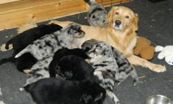 Austrailian Shepherd/Golden Retriever cross puppies.  Still available - 1 black female and 1 black male with white trim.  These friendly puppies will be very smart, loyal and easily trainable.  Parents are both happy, child loving, family/cattle dogs.
