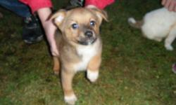 I am posting this for a friend. Please call Marsha @ 875-3777. Mother purebred  Australian Heeler , father a Benji type dog. Weight s/b approx 30 LBS.1 Male (Brown) & 1 Female (white).