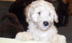 Australian Labradoodle puppies! Chocolate and cream standard size puppies for valentine's day! Registered with the Australian Labradoodle Association of America breed club. Waitlist is opened for reservations. Please check out our website at