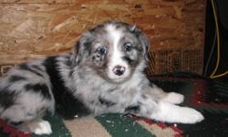 Pure Breed Australian Shepherd Puppies for sale. 2- females 1 Blue Merle and 1 Red Merle 3- Males 1 Liver, 1 Red Merle and 1 Black Tri Tails docked, first shots, dewormed, dew claws removed. Phone 403 783-2010 or 403 704-6301