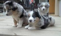 We have 4 male merle puppie with blue eyes and 2 female merle puppie also with blue eyes to go to a good home. The pups are being raised with children and are very well mannered. They are house trained and spend alot of time indoors and out. This breed is