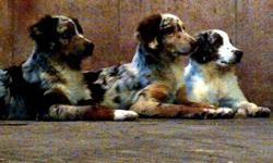 I have three red merle Australian Shepherd puppies for sale. All are boys and still have their natural tails as tail docking is banned on PEI. They are excellent dogs and stay loyal to their owner. They are an active breed and require daily exercise. Good