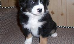 Black tri and red tri Australian Shepherd puppies born on November 11 2011. They will have their first shots and vet check and be ready to go soon. they have awesome dispositions,  they make great family dogs.  They are very smart and easy to train. for