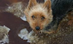 The world's best kept secret! Australian terriers are bright, smart, lively little dogs. Full of fun and love. They are exceptional with children. Aussies have a wire hair coat that does not shed, is hypoallergenic, and requires little grooming. They