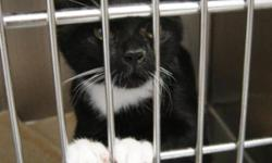 "Breed: Tuxedo   Age: Baby   Sex: F   Size: S ""Hiya, I live in a circus wagon because I had ringworm on the tips of my ears. You cannot imagine how boring this is for an active young woman and how grateful I will be to move in with you. Please contact SCAT"