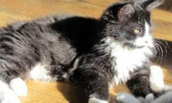 Breed: Domestic Long Hair-black and white   Age: Baby   Sex: F   Size: M PONGO, TOUFFU, TOUTITE and YOGI are brothers and sisters born on July 19th, 2011. Their mom was a stray cat who was taken in by some good people and mom had her kittens in the
