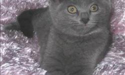 Breed: Domestic Short Hair   Age: Baby   Sex: F   Size: M Spice is a 3.5 month old beautiful grey female kitten, similar in appearance to the one pictured here. She's currently in a foster home with her siblings, one of which is Pistachio, a grey and