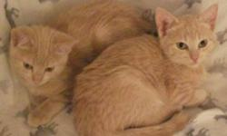 Breed: Domestic Short Hair - orange and white   Age: Baby   Sex: F   Size: M Sarah is the kitten on the left.   View this pet on Petfinder.com Contact: Craig Street Cats | Winnipeg, MB