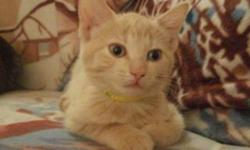 Breed: Domestic Short Hair - orange and white   Age: Baby   Sex: F   Size: M   View this pet on Petfinder.com Contact: Craig Street Cats | Winnipeg, MB
