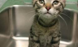 Breed: Domestic Short Hair   Age: Baby   Sex: F   Size: M Well! HI! I'm Nanaimo, a mouthful, I know. My family and I were named after holiday treats. I'm really cute, huh? I love to play and explore.. and well, play! I love people and other cats. BAPS has