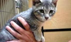 Breed: Tabby - Grey   Age: Baby   Sex: F   Size: S Falina and Farrah her sister are very sweet playful girls who simply appeared out of the blue in a family's back yard. They play well with other kitties when visiting PetsMart Adoption Centre. Falina is a