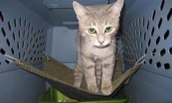 Breed: Tabby - Grey   Age: Baby   Sex: F   Size: M   View this pet on Petfinder.com Contact: Craig Street Cats | Winnipeg, MB