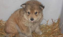 """Breed: Husky   Age: Baby   Sex: F   Size: L As an SPCA dog for my $225 adoption fee I will be """"fixed, Micro-chipped, De-wormed and will have had my first set of vaccines.   View this pet on Petfinder.com Contact: Peace River SPCA 