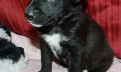 Breed: Husky Rottweiler   Age: Baby   Sex: F   Size: M Lucy along with 3 other female siblings were found on the highway in a box south of Canoe Lake, seemingly abandoned! Someone found them and brought them to Meadow Lake to the shelter for safe keeping