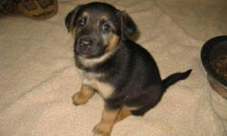 Breed: Shepherd   Age: Baby   Sex: F   Size: L My name is Skyler and I am one of the 3 sisters that arrived with our mom at the shelter on August 17th. I am currently learning to walk nicely on leash. I am 8 weeks old and ready to go to my forever home!