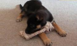 Breed: Shepherd   Age: Baby   Sex: F   Size: L Trixie is a little shepherd girl is looking for a new home. We just got her and have her in foster care. She is 10-12 weeks old. She is not house trained yet but is a smart pup that will learn quickly. She