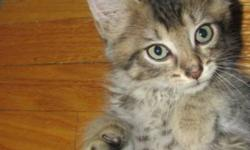 Breed: Domestic Long Hair   Age: Baby   Sex: M   Size: M Silver will be ready for his forever home by mid August. He is good with dogs and other cats.   View this pet on Petfinder.com Contact: Craig Street Cats | Winnipeg, MB