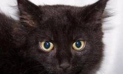 Breed: Domestic Medium Hair-black   Age: Baby   Sex: M   Size: M This little guy is Gomez and if you looked up adorable in the dictionary there would probably be a picture of him! Pictures do not do this guy justice, you really must see him in purrr-son