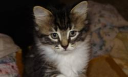 Breed: Domestic Medium Hair   Age: Baby   Sex: M   Size: M Yahtzee is an old soul. He is so loving and mellow and his fur is decadently soft to the touch. This means he will need regular brushing, but it will be a great way to bond with your new family