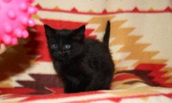 Breed: Domestic Short Hair-black   Age: Baby   Sex: M   Size: M DOB July 22.2011 Bucky is a real doll. I think he will turn into a real couch potatoe and love to just hang out beside you whiole you are watching tv or on the computer. He is very funny and