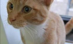 Breed: Domestic Short Hair   Age: Baby   Sex: M   Size: M Primary Color: Orange Tabby Secondary Color: White Age: 0yrs 5mths 0wks   View this pet on Petfinder.com Contact: Regina Humane Society | Regina, SK