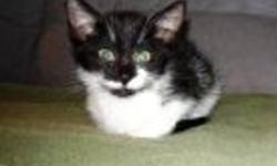 Breed: Domestic Short Hair-black and white   Age: Baby   Sex: M   Size: S Carlton is Caesar's brother and is a quiet sweet little guy. He was orphaned early in life and has now been taken underwing by Snowdrop and is becoming a very well brought up young