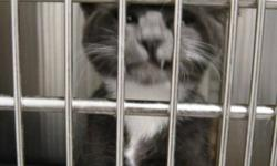 """Breed: Domestic Short Hair - gray and white Tuxedo   Age: Baby   Sex: M   Size: S Bono: """"Help! I was held prisoner for 6 (SIX) ghastly weeks in a clinic simply because I had a teeny touch of ringworm. (ok, yuk, but it was no big deal and I'm totally over"""