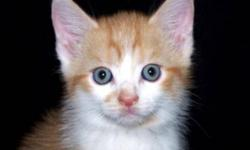 Breed: Domestic Short Hair - orange and white   Age: Baby   Sex: M   Size: M This is little Bartholameow and what can we say, he's cute as a button and beyond adorable! He didn't have a great start in life as he had been abandoned but he hasn't given up