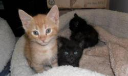 Breed: Domestic Short Hair - orange and white   Age: Baby   Sex: M   Size: L We were dropped off at the Humane Society with our mother, we are about 8 weeks old now...so we need to find our forever homes. Come and see us and all the other kittens here.