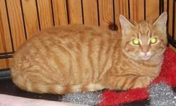 Breed: Domestic Short Hair Tabby - Orange   Age: Baby   Sex: M   Size: M ***This adoptable is being posted by PET Projects as a courtesy to a private rescuer or owner not officially affiliated with our organization. Please contact the rescuer/owner