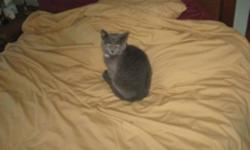 """Breed: Domestic Short Hair-gray   Age: Baby   Sex: M   Size: M Sheriff was born at the beginning of August, 2011. Sheriff is a lovely silver grey male with a white """"badge"""" under his chin. He was feral when rescued in early November but in less than a"""