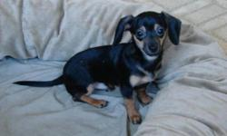 Breed: Dachshund Chihuahua   Age: Baby   Sex: M   Size: S Peanut has been with us for about 3 months, along with his brother Gilbert. Peanut had a bad case of demodex and is completely healed, with a full coat! Peanut needs a special home, one with no