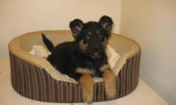 Breed: German Shepherd Dog   Age: Baby   Sex: M   Size: L Karlee was left behind in an apartment when the tenants were evicted. Her fur was covered in scaly dandruff and she was super itchy - so the conditions she was living in were likely not good. She