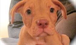 Breed: Staffordshire Bull Terrier Shar Pei   Age: Baby   Sex: M   Size: M I'M A PUPPY - Give me constant guidance so I can become a well-behaved, socialized adult! Just like a human baby, I'll need your help to make those all-important decisions. Should I