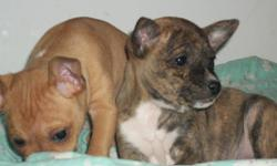 2 Beautiful rare female pups left.Dad is Basenji Dog(Closest breed to African Wild Dog) They are non Barking no odor and very little shedding.Mom is Mexican Chihuahua.Pups will mature under 10lbs.Pups come with vaccination,worming puppy food and health