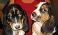 We have a litter of adorable Basset babies.  Males and females are available. They will come with their first shots and be dewormed.  Then first picture is of the boys. The other two pictures are of the girls.