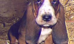 Our Basset Hound puppies are ready to go home.  There is one tri-colored and a couple of red and white puppies still needing forever homes.  They come with their first shots, dewormed and guaranteed. Parents are both CKC registered. European championship