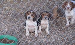 Three male tri-color male beagles waiting for their new homes.    They have all shots up to date except for rabies ( too young as of yet )  3 dewormings and parasite control for heartworms, fleas and ticks.   They are started on house and kennel/crate