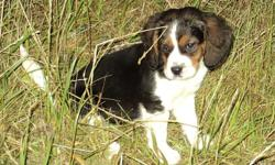 Beagle Pups from good hunting stock. Born September, will be ready to hunt next fall. Serious inquiries only