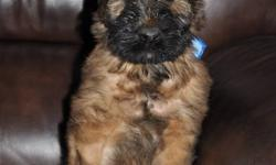 Top quality Briard pups available locally! Father has all his health certificates, his championship, HIC, CGC and works in the movies, he is available to view . All pups are fully guarantee and have been wormed, micro chipped and had their first shots.