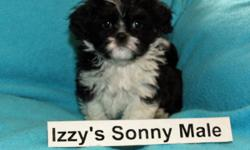 Beautiful, sweet, smart, cuddly and non-shedding Bichon Shih Tzu puppies for sale.  NOTE: the first picture is the male puppy that will be ready to go home December 17, 2011. The second picture is the male puppy that will be ready to go home Dec 24. Of