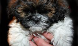 Beautiful, sweet, smart, cuddly and non-shedding Bichon Shih Tzu puppy for sale.  He is ready to go home and has been de-wormed and has had his first shot.    Also, I have 2 male and 3 female puppies (not pictured) who will be ready to go home Jan 14,