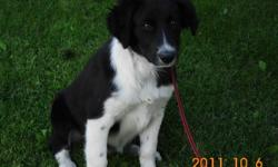 Border collie puppy for sale, 4 mos old, black w/ white, father is papered working dog, energetic, well behaved, quiet, alert and affectionate. $250.00 call 250-378-2197