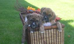 Adorable WELLBRED Boxer Pups--Beautiful variety of shades of Brindles ranging from a light creamy coloured brindle to a darker seal brindle.Also 2 fawn pups.ALL VERY FLASHY LOOKING!!!!Nice SHORT faces and HEAVY bone!! Well WRINKLED. Very well