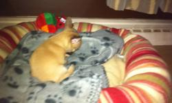 I recently acquired a very cute un-registered purebred chihuahua puppy.  Female; born Oct.12/2011; brown body with a black mask.  She was dewormed on Nov. 22 and had her first 5 way shot on Nov.23 prior to my purchasing her for $700.  It saddens me but I