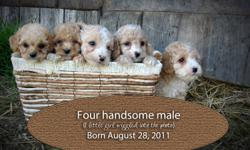 We are so pleased to introduce you to these adorable COCKAPOOS.   They are looking for a loving home to come home to.  These sweet pups were born in two litters (4 girls born on August 22) (4 boys and 3 girls born on August 28)  They will come to you vet